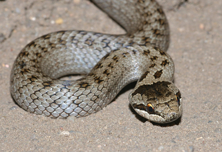 UK Land Reptiles - slippery customers | Pitchcare Articles