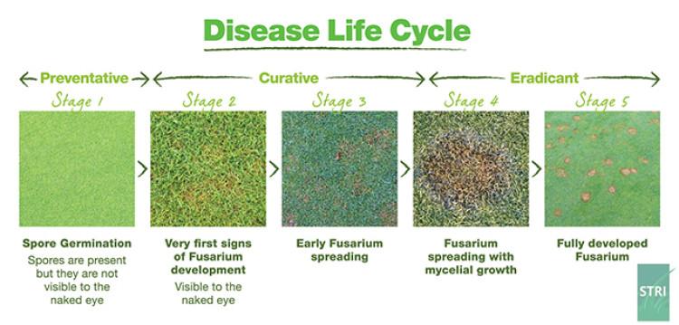 Disease life cycle of Fusarium