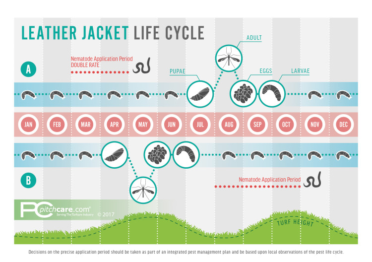Leatherjacket Life Cycle Diagram
