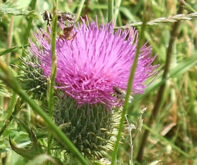 Thistles Oh Flower Of Scotland Pitchcare Articles