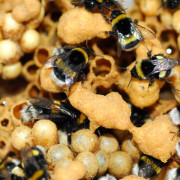 Beepol Live Bumblebee Colony - available from Pitchcare.com