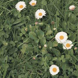 Daisy weed controlled by Longbow
