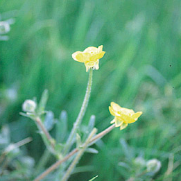 Buttercup weed controlled by Longbow