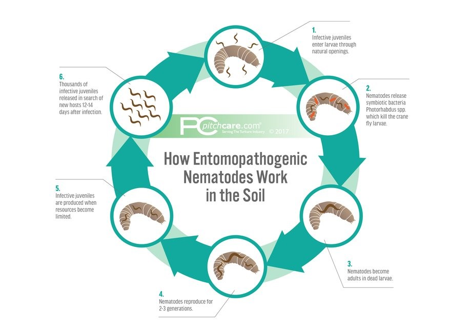 How Entomopathogenic Nematodes Work in the Soil