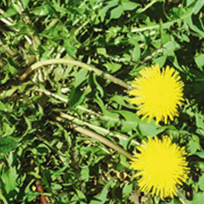 Dandelion weed controlled by Longbow
