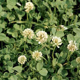 White Clover weed controlled by Longbow