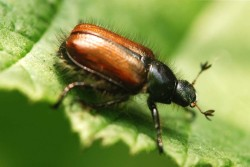 Chafer Beetle