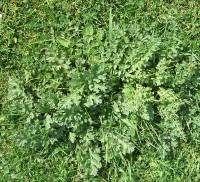 Ragwort rosette