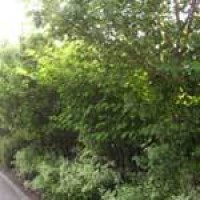 japanese-knotweed-hab.jpg