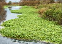 Floating Pennywort.png
