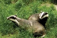 Badgers1.jpg