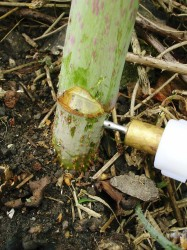 New InjectorDos in action against Japanese Knotweed