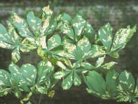 leaf minoe chestnut
