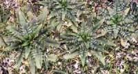 starweed2.jpg