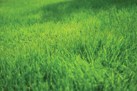 GrassCloseUp3.jpg