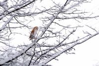 Barn Owl1.JPG