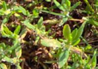 bham-university-knotgrass-4.jpg
