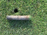 Thatch at the surface on a background of bent and fescue