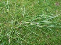 Ryegrass in Fescue mr