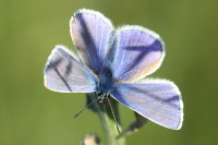 A Common Blue M small