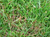 Pitch Disease July 09 003.jpg