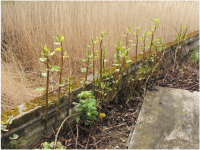 Rusted Japanese Knotweed.png
