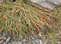 grasses 2 weeks
