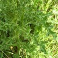 spear-thistle-leaf.jpg
