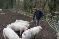 MiltonAbbey Pigs