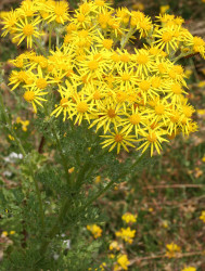 Ragwort in flower MS