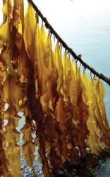 mature seaweed on rope.jpg