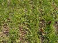 bham-university-knotgrass.jpg