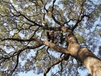 Tree surgeon removing dangerous limbs 2