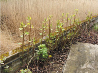 rusted-JapaneseKnotweed.jpg