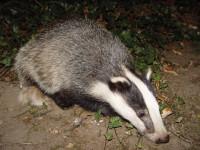 Badger Wiki