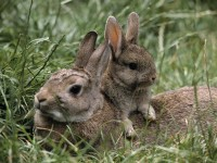 mother-and-young-european-rabbits-pictures.jpg