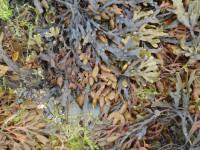 Seaweed Main