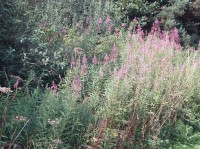 RosebayWillowherb