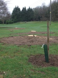 Bridgnorth Non indigenous trees are being replaced