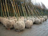 Rootballs