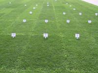 Perennial ryegrass plots