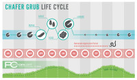 Chafer Grub infographic