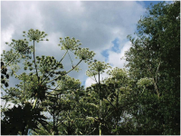 Giant Hogweed.png