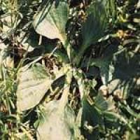 plantago-3.jpg