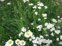 lindum wildflower mix