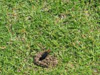 Cut fly larvae.jpg