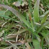 field-woodrush-leaves.jpg