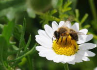 Op Poll solitary bee