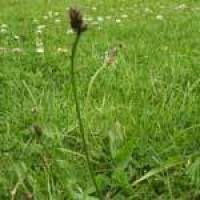 ribwort-plantain-flower.jpg