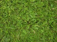 ribwort-plantain.jpg